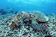 hawksbill sea turtle, Eretmochelys imbricata, lifts pieces of coral rubble looking for invertebrates on which to feed, Sipadan Island, Borneo, Malaysia ( Celebes Sea, Western Pacific Ocean )