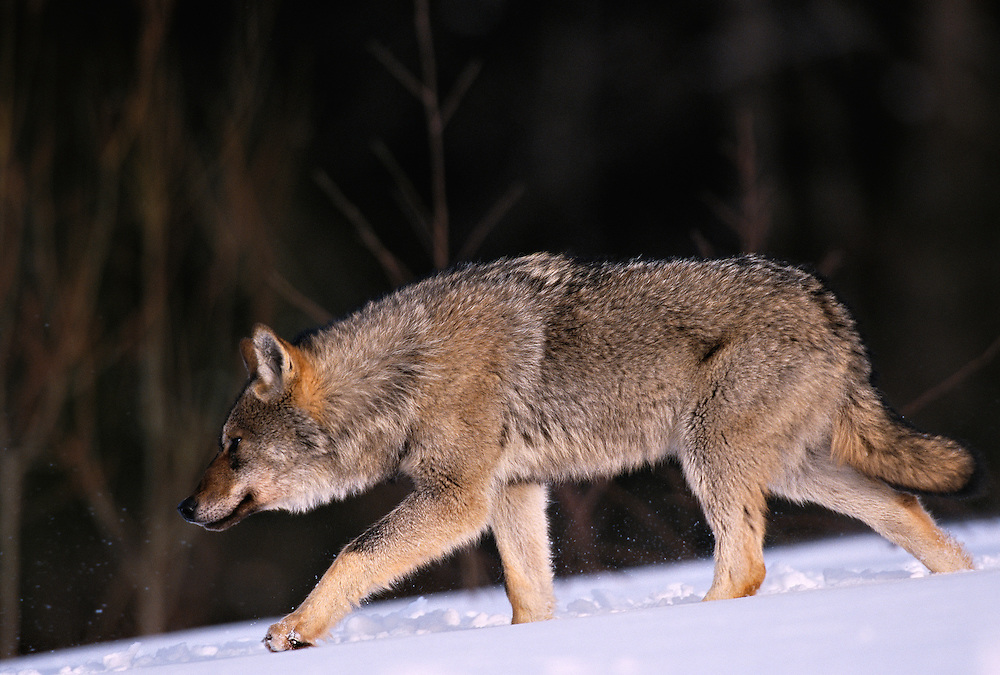 Eurasian Wolf, Canis lupus, Toropets, Russia, controlled conditions