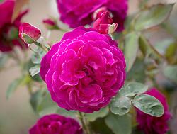 Rosa 'Munstead Wood' syn. 'Ausbernard' AGM