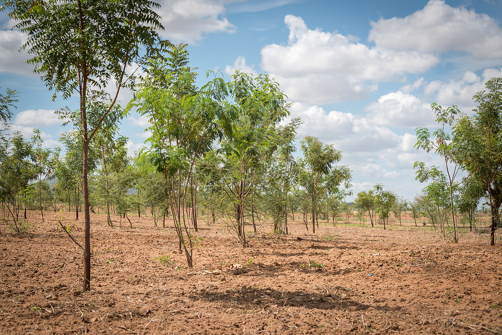 31 May 2019, Mokolo, Cameroon: One of 20 so-called 'green spaces' in and around the Minawao camp for Nigerian refugees. A five-year planting and harvest cycle ensures wood to be used as firewood, vines for building of roofs, and a step in alleviating environmental impact in and around Minawao. The Minawao camp for Nigerian refugees, located in the Far North region of Cameroon, hosts some 58,000 refugees from North East Nigeria. The refugees are supported by the Lutheran World Federation, together with a range of partners.