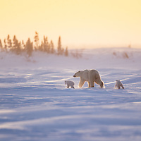 Mother Polar Bear with her two cubs in Wapusk National Park south of Churchill Manitoba Canada walking toward Hudson Bay.