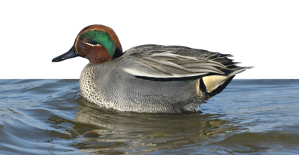 Teal - Anas crecca - Male. L 34-38cm. Our smallest duck. Forms flocks outside breeding season. Often nervous and flighty. In flight, both sexes show white-bordered green speculum. Sexes are otherwise dissimilar. Adult male has chestnut-orange head with yellow-bordered green patch through eye. Plumage is otherwise finely marked grey except for black-bordered yellow stern and horizontal white line along flanks. Bill is dark grey. In eclipse, resembles adult female. Adult female has mottled grey-brown plumage. Bill is grey with hint of yellow at base. Juvenile is similar to adult female but warmer buff. Voice Male utters a ringing whistle, female utters a soft quack. Status Associated with water. Nests in small numbers beside pools and bogs mainly in N. Locally common outside breeding season on freshwater marshes, estuaries and mudflats.