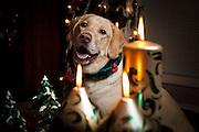 USA, Oregon, Keizer, Labrador Retriever in her Christmas gear.