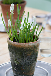 Muscari botryoides f. album in a terracotta pot - Grape hyacinth