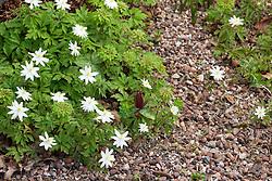 Mixed clump of wood anemones including Anemone nemorosa 'Bracteata' and Anemone nemorosa 'Virescens'