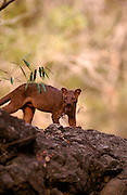 Fossa (Cryptoprocta ferox)<br /> STATUS: Vulnerable<br /> ENDEMIC TO MADAGASCAR