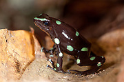Green and Black Poison Dart Frog, Dendrobates auratus, Panama, Central America, Barro Colorado Island, on leaf on forest floor