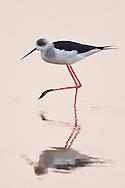 Black-winged stilt, Himantopus himantopus, in the Nansha wetland reserve, Guangdong province, China