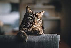 THEMENBILD - eine getigerte Hauskatze blickt über einen Stuhl, aufgenommen am 27. März 2020, Oesterreich // a tabby house cat looks over a chair, Austria on 2020/03/27. EXPA Pictures © 2020, PhotoCredit: EXPA/ JFK