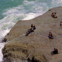 South America, Argentina, Valdes Peninsula. Colony of Southern Sea Lions.