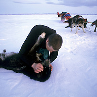 INTERNATIONAL ARCTIC PROJECT. Ulrik Vedel checks for breath after performing CPR on dog that strangled falling into lead. (MR)