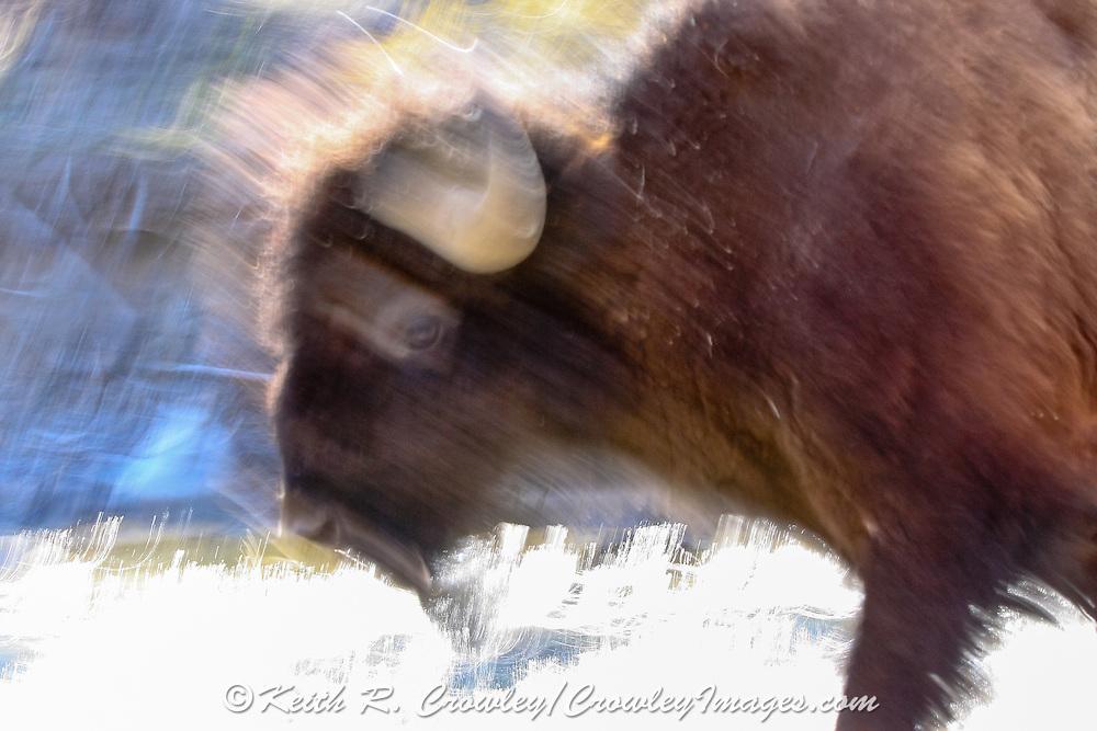 American Bison (Buffalo) in habitat American Bison (Buffalo) in habitat