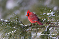 01530-23007 Northern Cardinal (Cardinalis cardinalis) male in pine tree in winter snow Marion Co. IL