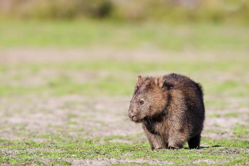 Common Wombat (Vombatus ursinus) - Tasmania