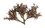 gigartina<br /> Mastocarpus stellatus
