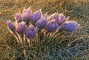 Prairie crocus (Anemone patens)<br />Winnipeg<br />Manitoba<br />Canada