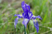 With intricately lines purplish-blue lines on the three lower petals with a touch of yellow, this native iris is found across the entirety of the American West, even reaching into Minnesota near creeks, rivers, or any other wetland at mid elevations. This one was found and photographed just north of Ellensburg, Washington deep in a canyon where the surrounding desert was bone-dry.