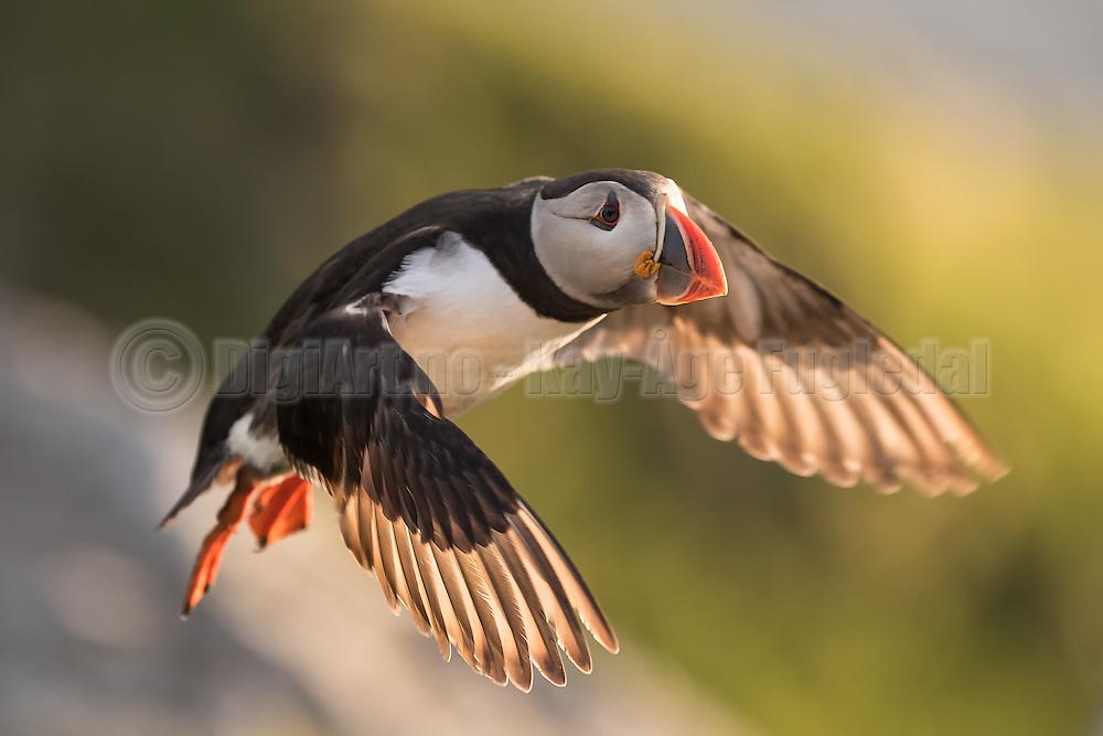 Puffin in flight   Lundefugl i flukt