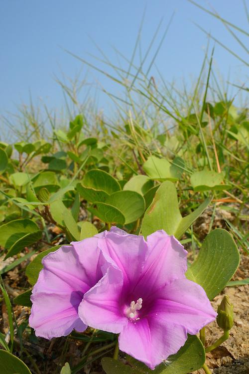 Beach Morning Glory, Ipomoea pes-caprae, Pulicat Lake, Tamil Nadu, India