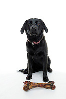 21 July 2008:  10 month old female Golden Labrador K-9 dog named Bella Bailey Castellano posing in the studio sitting next to a large ham bone on a white background.  Black Lab, Golden Retriever puppy, a family pet.