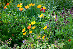 Self sown Welsh poppies running through a border. Papaver cambricum syn. Meconopsis cambrica