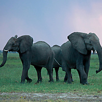 Africa, Botswana, Savute. Elephants of Chobe.