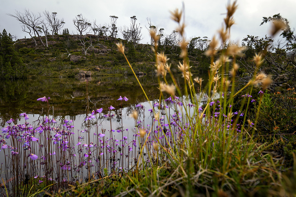 Wildflowers in the Labyrinth of Tasmanian Central Highlands.