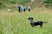 Nederland, Nijmegen, 13-7-2014Onze hond, teckel Teun, is weliswaar klein, maar wil graag met alle honden spelen en rennen. Hij maakt er een sport van om ze uit te dagen, uitdagen. Hij kan het met alle soorten en maten goed vinden.FOTO: FLIP FRANSSEN/ HOLLANDSE HOOGTE
