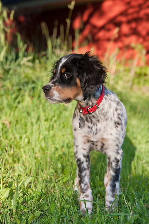 A young Llewellin setter English setter puppy.