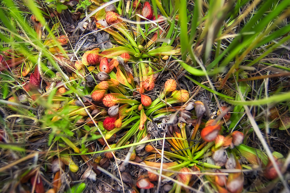 A cluster of parrot pitcher plants growing in the Apalachicola National Forest. This is the smallest and most common pitcher plant to be found in Florida.