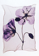 Pressed Geranium flower