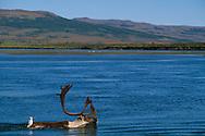 Swimming Reindeer, caribou, Rangifer tarandus, Kubuk Valley National Park, Alaska, USA