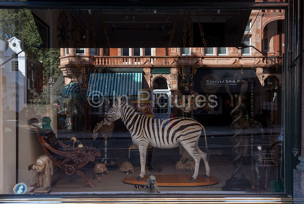 A stuffed zebra made through the art of taxedermy stands with other antiques in an art gallery window, on 23rd September 2016, in Mayfair, central London, England. Taxidermy is the art of preparing, stuffing, and mounting the skins of animals with lifelike effect.