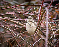 Northern Mockingbird. Backyard Winter Nature in New Jersey. Image taken with a Nikon D2xs camera and 70-200 mm f/2.8 lens (ISO 400, 200 mm, f/2.8, 1/250 sec).