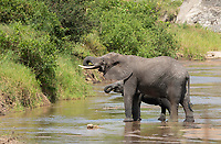 Adult and calf African Elephant, Loxodonta africana, drink from a stream in Tarangire National Park, Tanzania