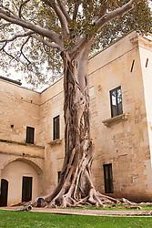 Ficus secolare situato in un giardino in via Santa Maria del Paradiso, nel centro storico di Lecce