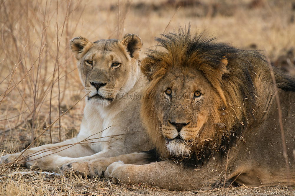 Lion & lioness (Panthera leo)<br /> Marakele Private Reserve, Waterberg Biosphere Reserve<br /> Limpopo Province<br /> SOUTH AFRICA
