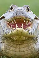 Brillenkaiman (Caiman yacare) im Norden des Pantanals, Transpantaneira, Brasilien<br /> <br /> Yacare caiman in the northern Pantanal, Tranpantaneira, Brazil