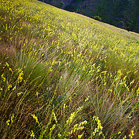 Dalmatian Toadflax infests an entire face of Mount Jumbo in Montana's Missoula valley.