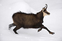 11.11.2008.Chamois (Rupicapra rupicapra). Running..Gran Paradiso National Park, Italy