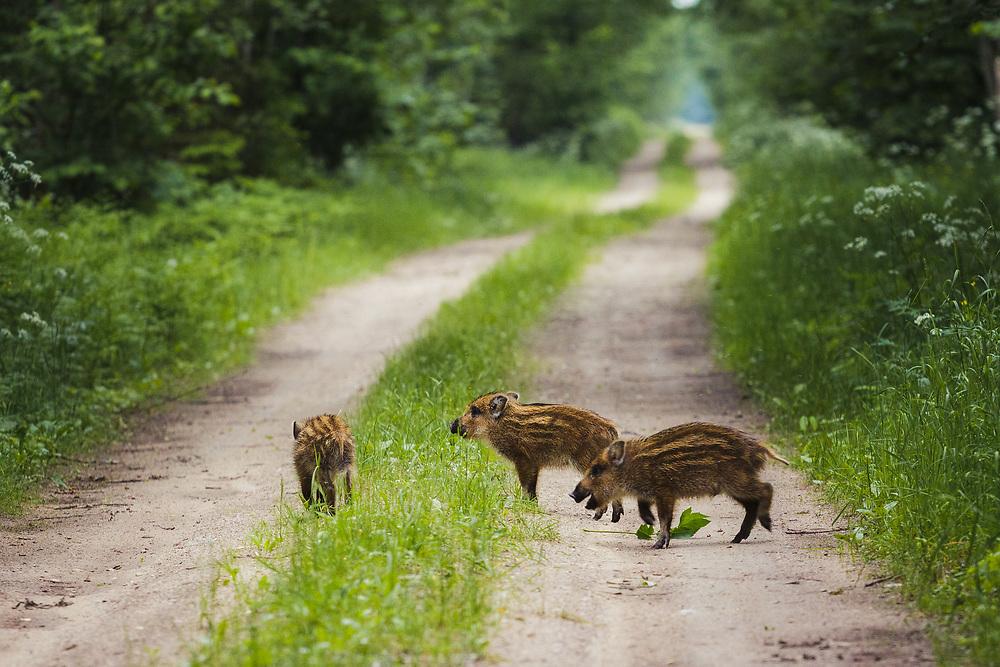 Wild boar (Sus scrofa) piglets playfully running across the gravel road, Ķemeri National Park, Latvia Ⓒ Davis Ulands | davisulands.com
