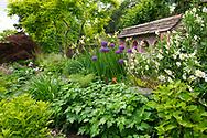 Allium 'Purple Sensation' and Iris spuria 'Lydia Jane' in the spring garden at Stockton Bury Gardens, Kimbolton, Leominster, Herefordshire, UK