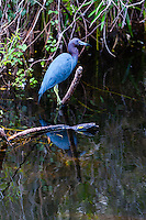 US, Florida, Everglades, Shark Valley. Little Blue Heron.
