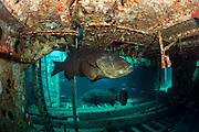 Goliath Grouper, Epinephelus itajara, inside the Danny shipwreck offshore Singer Island, Florida, United States during the summer spawning aggregation.