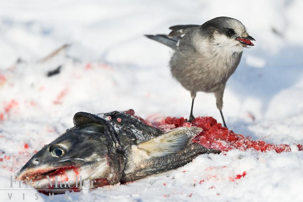 Grey jay feeding on chum salmon eggs, Fishing Branch River, North Yukon