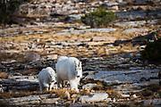 Mountain Goats, Bald Mountain Pass, Uintas, Utah