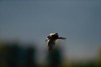 black tern (Chlidonias niger), Peene river, Anklam, Germany
