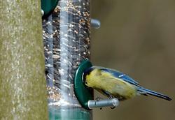 16-03-2005 NATUUR: BIRDWATCHING IN NEDERLAND HET HELE JAAR 2005: DE VECHT: MAARSSEN<br /> <br /> <br /> <br /> ©2005-WWW.FOTOHOOGENDOORN