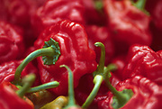 Close up selective focus photograph of Christmas Bell spicy and mild peppers