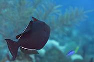 Black Durgon, Melichthys niger,(Bloch, 1786), Grand Cayman